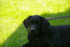 Foto 2 Labradorrüde