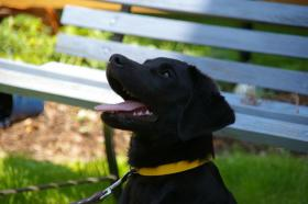 Foto 5 Labradorrüde