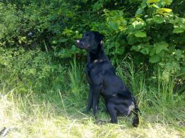Foto 3 Labradorrüde sucht Labradordame zum decken