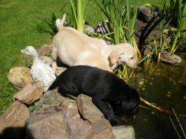 Labradorwelpen Famielienhunde