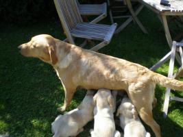 Foto 3 Labradorwelpen Famielienhunde