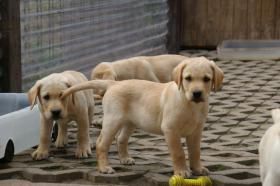 Foto 6 Labradorwelpen mit Papieren in der Farbe blond