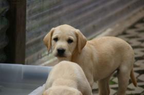 Foto 7 Labradorwelpen mit Papieren in der Farbe blond