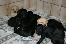Labradorwelpen mit Papieren in der Farbe blond und schwarz