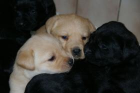 Foto 2 Labradorwelpen mit Papieren in der Farbe blond und schwarz