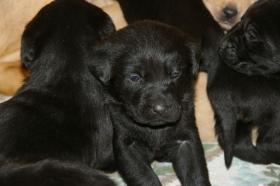 Foto 3 Labradorwelpen mit Papieren in der Farbe blond und schwarz