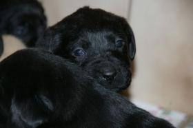 Foto 5 Labradorwelpen mit Papieren in der Farbe blond und schwarz