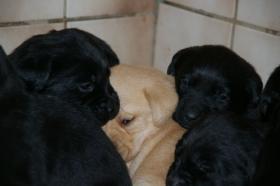 Foto 7 Labradorwelpen mit Papieren in der Farbe blond und schwarz