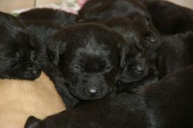 Foto 8 Labradorwelpen mit Papieren in der Farbe blond und schwarz