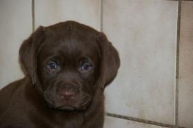 Foto 5 Labradorwelpen mit Papieren in der Farbe braun