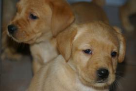 Foto 3 Labradorwelpen mit Papieren in der Farbe foxred und blond
