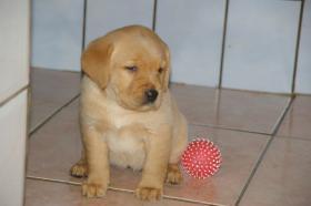 Foto 5 Labradorwelpen mit Papieren in der Farbe foxred und blond