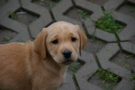 Foto 19 Labradorwelpen mit Papieren in der Farbe foxred und blond
