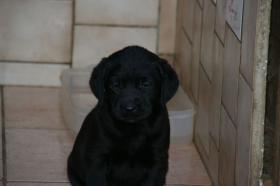 Foto 9 Labradorwelpen mit Papieren in der Farbe schwarz