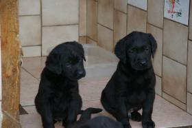 Foto 10 Labradorwelpen mit Papieren in der Farbe schwarz