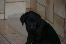 Foto 11 Labradorwelpen mit Papieren in der Farbe schwarz