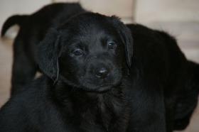 Foto 12 Labradorwelpen mit Papieren in der Farbe schwarz