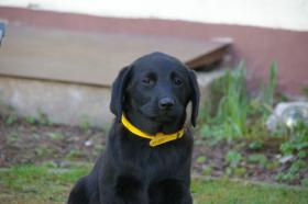 Foto 3 Labradorwelpen mit Papieren in der Farbe schwarz