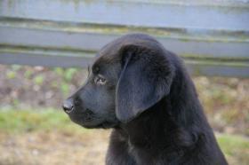Foto 8 Labradorwelpen mit Papieren in der Farbe schwarz