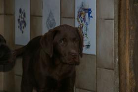 Foto 2 Labradorwelpen mit Papieren in braun