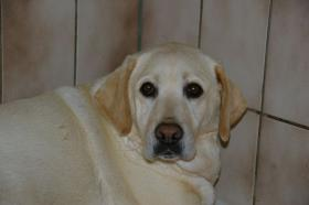 Foto 5 Labradorwelpen in blond