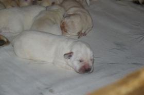 Foto 6 Labradorwelpen in blond