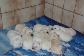 Foto 10 Labradorwelpen in blond