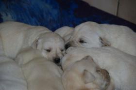 Foto 11 Labradorwelpen in blond