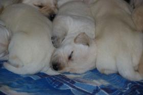 Foto 13 Labradorwelpen in blond