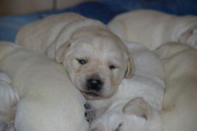 Foto 14 Labradorwelpen in blond
