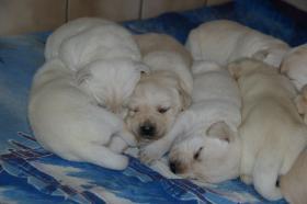 Foto 15 Labradorwelpen in blond