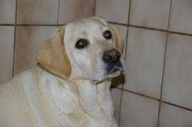 Foto 17 Labradorwelpen in blond
