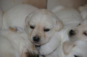 Foto 27 Labradorwelpen in blond