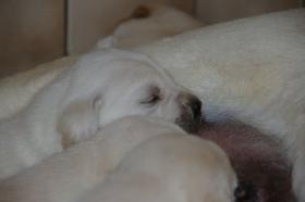 Foto 28 Labradorwelpen in blond