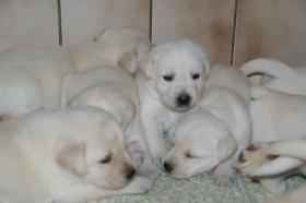 Foto 30 Labradorwelpen in blond