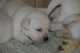 Foto 31 Labradorwelpen in blond