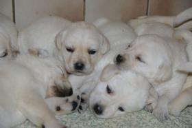 Labradorwelpen in blond