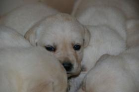 Foto 4 Labradorwelpen in blond
