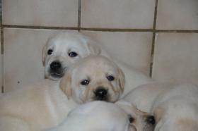Foto 34 Labradorwelpen in blond