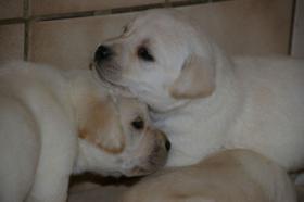 Foto 35 Labradorwelpen in blond