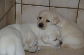 Foto 39 Labradorwelpen in blond