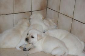 Foto 40 Labradorwelpen in blond