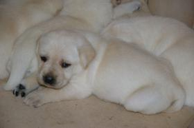 Foto 41 Labradorwelpen in blond