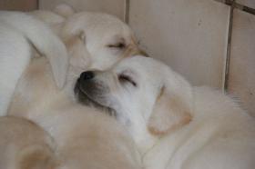 Foto 42 Labradorwelpen in blond