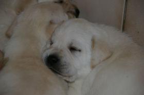 Foto 43 Labradorwelpen in blond