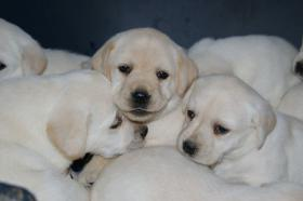 Foto 44 Labradorwelpen in blond