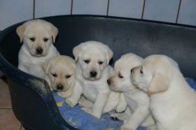 Foto 45 Labradorwelpen in blond