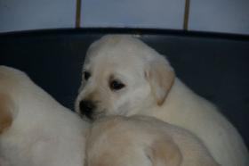 Foto 48 Labradorwelpen in blond