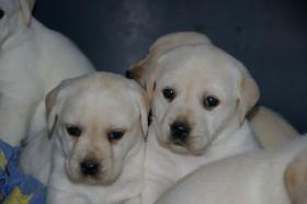 Foto 49 Labradorwelpen in blond