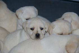 Foto 50 Labradorwelpen in blond